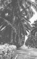 Douala, allée des cocotiers