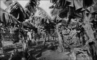 Guinée : une bananeraie avant la récolte. Cliché Agence économique des colonies. – La banane de Chine est introduite en Guinée au tout début du XXème siècle, par la société « La Camayenne ». Sa culture se développe modestement, atteignant 500 ha en 1914, à une époque où l'entrée en production des plantations d'hévéas en Extrême-Orient vient de sceller le déclin du caoutchouc guinéen de médiocre qualité. Mais l'essai de la Camayenne n'aboutit pas ; faute de moyens de transport, l'exportation de banane stagne puis périclite durant le premier conflit mondial. Après la guerre,  la production bananière va croître lentement, passant de 114 tonnes en 1920 à 8769 tonnes en 1930. Le réel démarrage survient en pleine crise économique mondiale, et en 1934 la banane représente 5 % en valeur des exportations d'AOF, la Guinée fournissant l'essentiel de la production. Les primes, l'aménagement des infrastructures portuaires et de stockage, et le lancement d'une flotte bananière produisent leurs effets. La culture bananière, qui implique des techniques coûteuses, et notamment  l'usage d'intrants chimiques, est jusqu'à la Seconde Guerre mondiale le fait de planteurs européens et de quelques Libanais. D'autant que le concours de l'administration, indispensable pour obtenir les crédits, les concessions et pour lever l'abondante main-d'œuvre que nécessite cette culture, est réservé aux colons. Ainsi, à la fin des années 1930, la production « indigène » ne représente que le quinzième de la production guinéenne, laquelle satisfait le tiers de la consommation française. La plupart des plantations sont de petites entreprises, et à l'apogée de l'époque bananière en 1958, tandis que la la Guinée produit 98 000 tonnes de bananes, seules 5 sociétés produisent plus 1000 tonnes. Puis, dès l'année suivante, surviennent deux fléaux agronomiques majeurs pour la banane, la cercosporiose et les nématodes, qui vont faire décliner la production. Les traitements mis au point sont trop coûteux pour les p