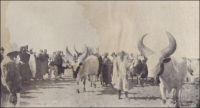 Concours agricole de Mao, bœufs du Tchad. – « Un événement plus important, et qui remplit pendant quelques jours la capitale du Kanem d'une animation extraordinaire, fut le concours agricole, dont l'institution remonte à 1912, époque où il eut lieu à Mondo, pour inaugurer l'installation du vétérinaire de Mao, et lui permettre de donner des conseil à tous les éleveurs de bœufs et de chevaux, et les préparer à la vaccination contre la péripneumonie contagieuse, qui fait beaucoup de mal au Tchad. Alors que le premier concours n'avait attiré guère que 500 bœufs et 400 chevaux, il vint, cette fois-ci, au moins 1500 chevaux et un nombre incalculable de bovidés. […] Il existe plusieurs races de bœufs très nette. Les Hassahouna ont un type semblable à celui de leurs frères Choa du Cameroun, marron et haut sur pattes, avec de petites cornes en croissant et un rudiment de bosse, fait pour porter plutôt que pour la boucherie, mais qui engraisse facilement. Le bœuf Kouri, des îles du Tchad, est grand, de couleur presque blanche, sans bosse ; il a de grosses cornes, souvent hautes de 1 mètre, en forme de lyre ou demi-cercle ; se sont les meilleurs pour la consommation ». Sources (photo et texte) : Abou-Digu'en, Mon voyage au Soudan tchadien, Paris, éditions Pierre Roger, 1929.