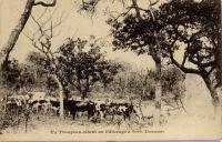 Un troupeau allant au pâturage à Save, Dahomey – Savé petite ville située sur la route du Nord et sur le chemin de fer Cotonou-Parakou, est un centre important du cercle de Savalou. Savé compte, en 1948, 5500 habitants. C'est le lieu d'une exploitation de tabac par la SOCOTAB.