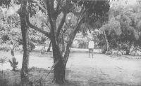 Cotonou, les jardins de la Douane – Le cercle de Cotonou exporte, en 1948, 3000 t. de palmiste, 1000 t d'huile de palme, 100 t de coprahs et 20 t de café.
